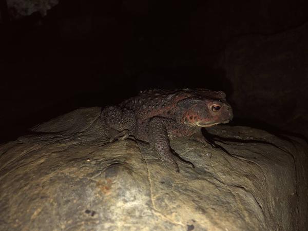 宇津野洞窟 ヌシ蛙