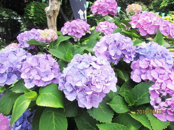 色とりどりの紫陽花寺