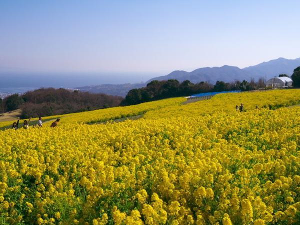 春はポピーと菜の花
