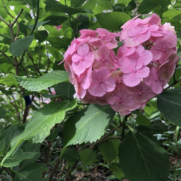 ♡の紫陽花