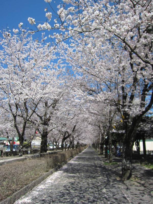 参道の横・桜並木