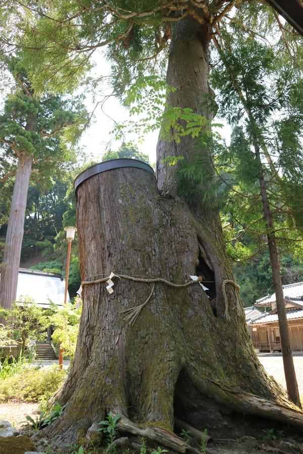 諏訪神社の神木