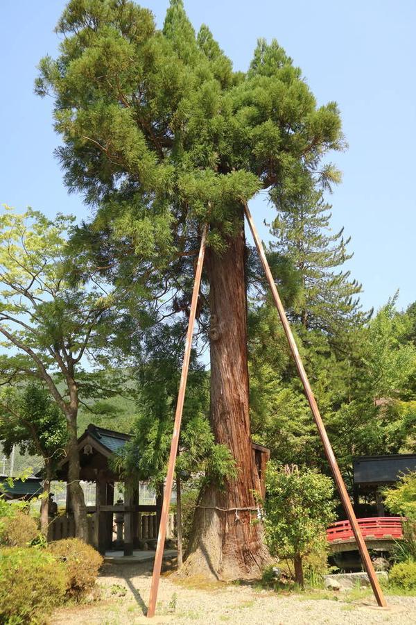 One of the sacred trees in the precinct of Suwa shrine