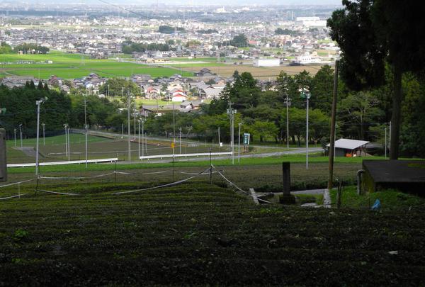池田町 茶畑