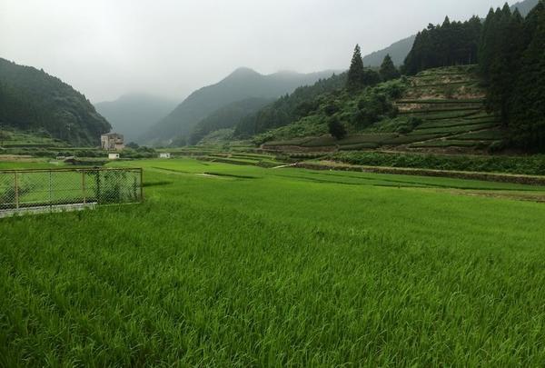 嬉野  茶畑