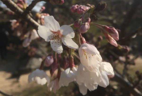 萩城址の桜