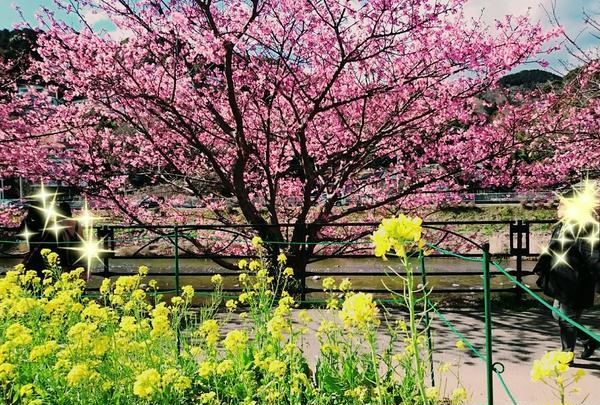 河津桜と露店