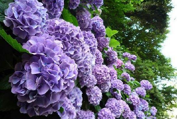 色んな色の紫陽花がありますね❤