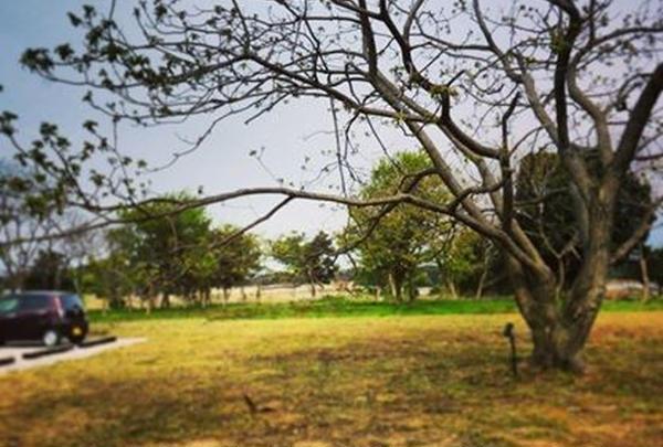 大きなクルミの木