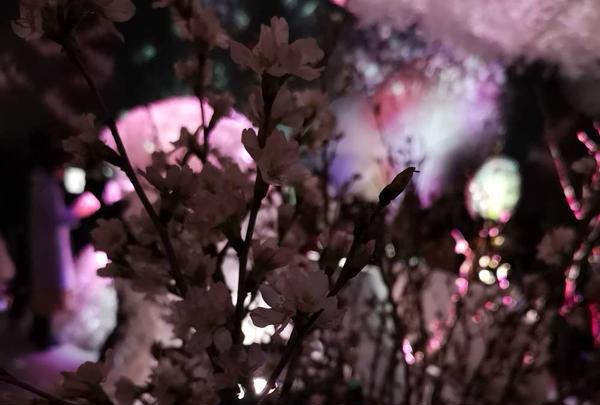 本物の桜🌸