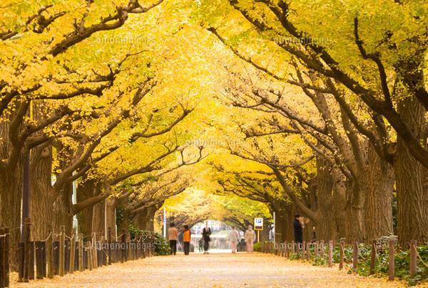 神宮外苑の並木道