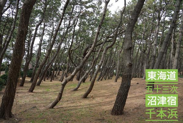 沼津千本浜公園の松林や松並木