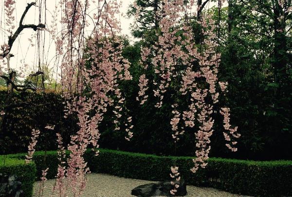 庭園とシダレザクラ