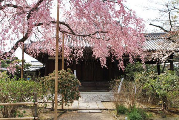 待賢門院桜