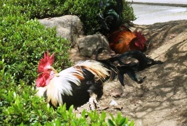 いろんな鶏が・・・