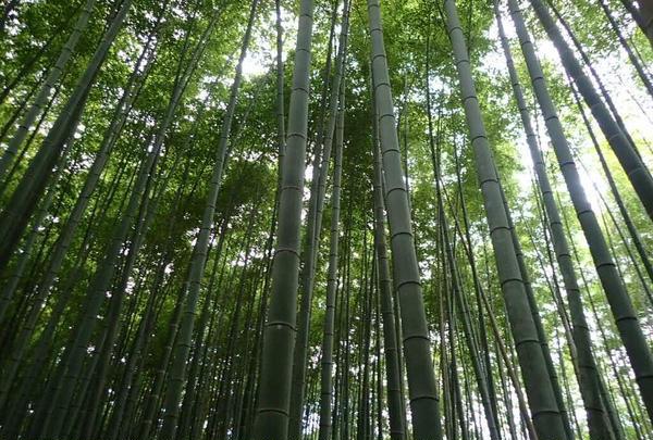 嵯峨野 竹林の道の写真・動画_image_236209