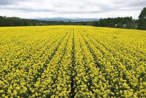 たきかわ菜の花まつり