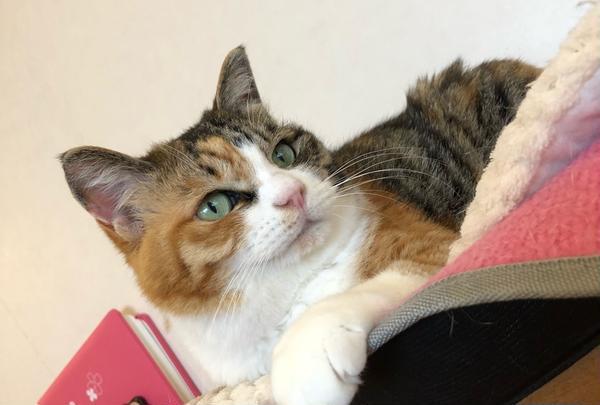 麻生 猫カフェ 福猫茶房