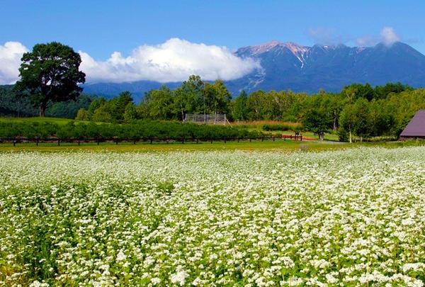 開田高原は蕎麦の産地