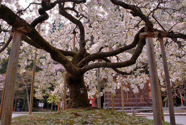 一目見たい「千眼桜」