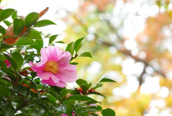 茂みの中に椿が咲いてる