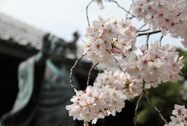 墨染桜の伝説