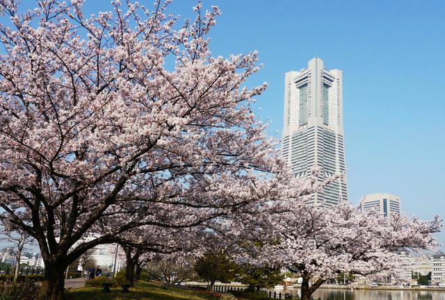 横浜 みなとみらい基点 桜お花見・散策スポット15巡り & テイクアウト店