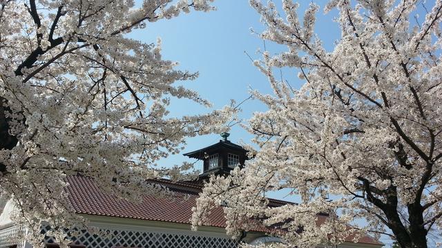 新潟市近辺 お勧め「桜」スポット