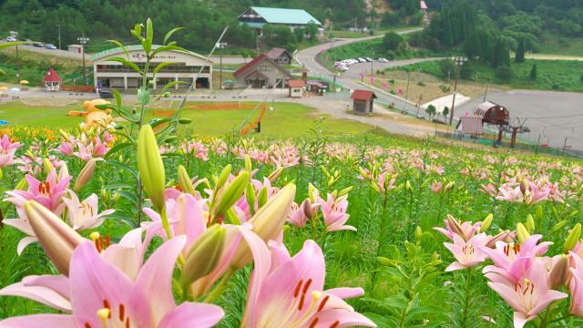 夏限定スキー場に沢山のゆり花・ちくさ高原ゆり園