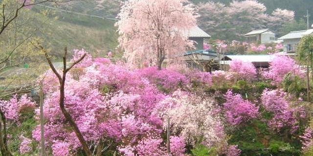 冬の桜を観に行こう!