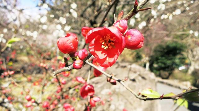 熱海の梅と桜とゆりかもめ
