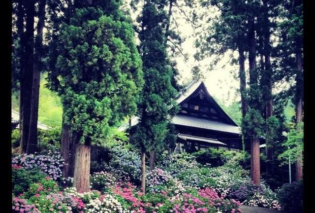 【梅雨の山梨】お寺に2万本の紫陽花【富士川町】