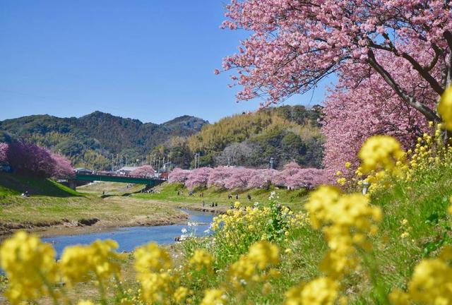 春を先取り🌸ふらっと河津桜