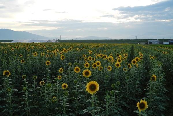 夏はひまわり畑を見つけよう
