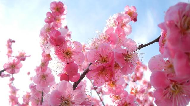 梅は咲いたか桜はまだかいな!安八の百梅園