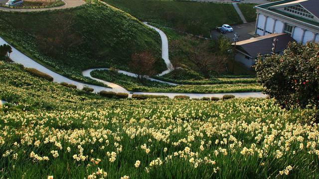日本最大の水仙群生地!越前水仙の秘境をご紹介!