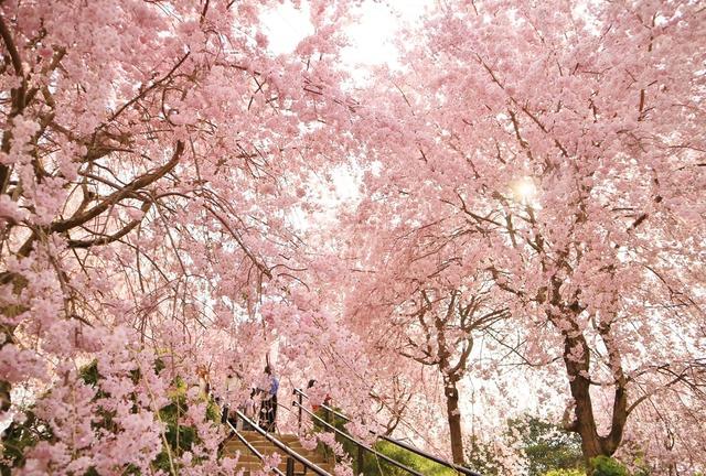 晴れ時々桜の名所巡り【奈良】