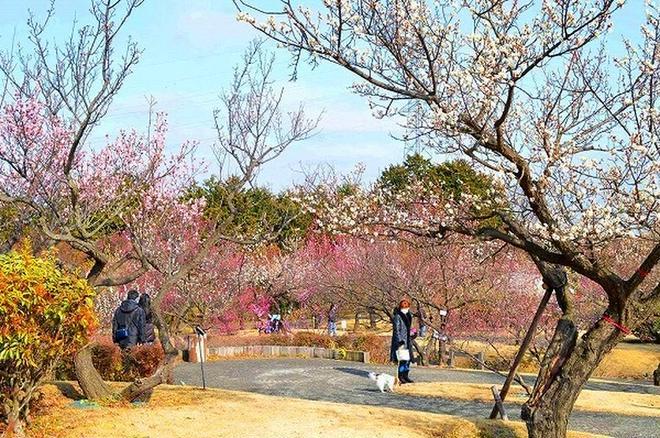 小田原フラワーガーデンの渓流の梅園(※過去撮影)