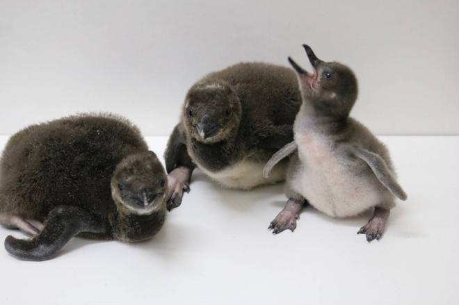マゼランペンギンの赤ちゃん(左から「おこめ」「おもち」「きなこ」)