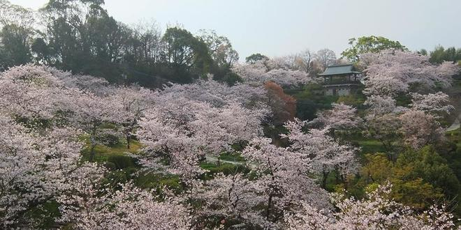 桜咲く菊池公園散策&日本の名湯百選菊池温泉でつるつる美肌の温泉三昧