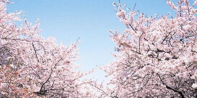 一度は行っておきたい桜の名所、上野公園。花見の後は、アメ横で昼呑みも!