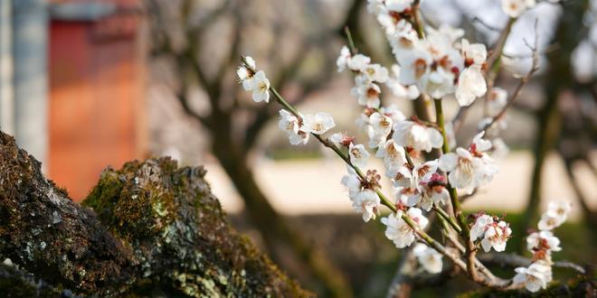 3月上旬がピーク!梅の名所岐阜梅林公園
