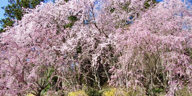 【4月〜GW】ゴールデンウィーク!南信州桜&スイセン&ハナモモ ※写真は全て2017.4.28撮影