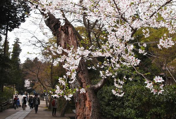 桜が綺麗でした