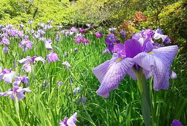 白や紫の花菖蒲