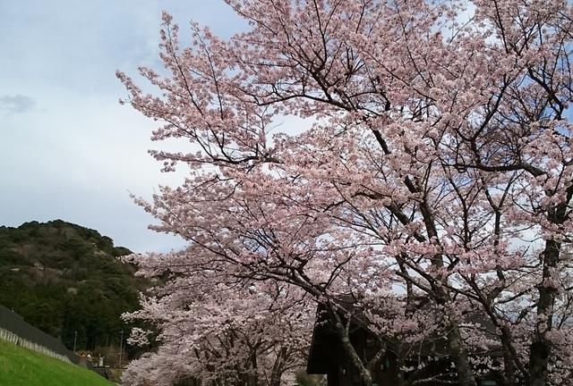 三重県・大台町桜スポット巡り2016
