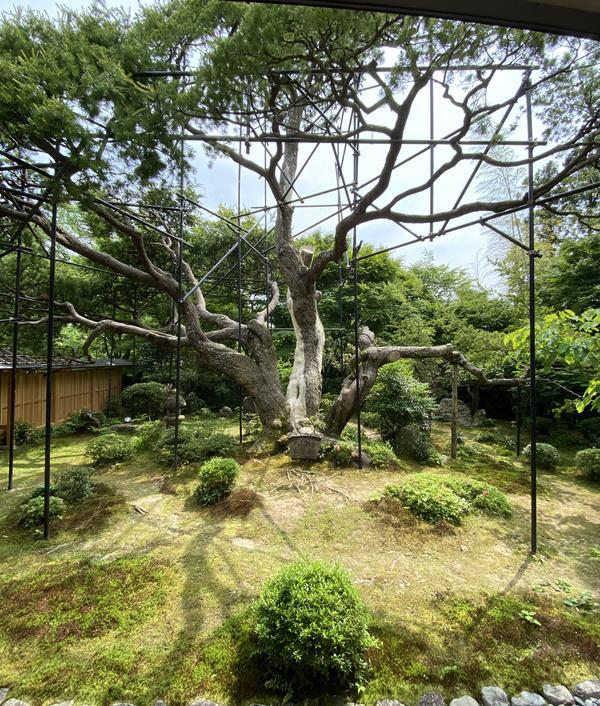 ◎樹齢700年(!)の五葉松