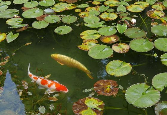 金鯉とプラチナ鯉