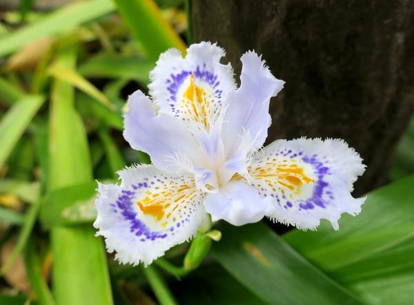 群生で咲くシャガ